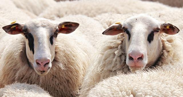 milé a bezbranné ovce