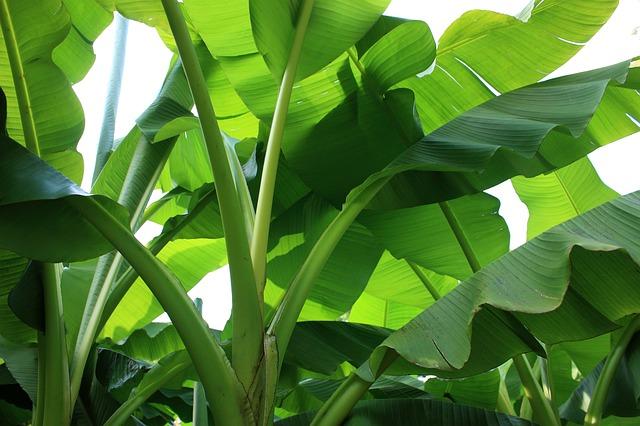 listy banánovníku
