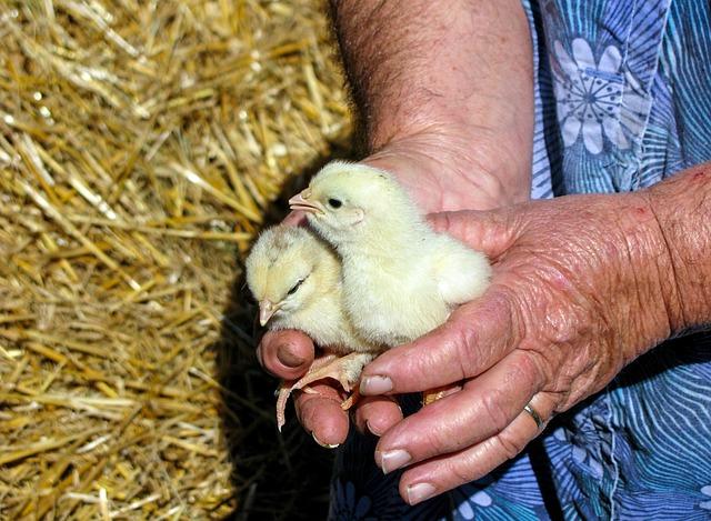 kuřata v rukou